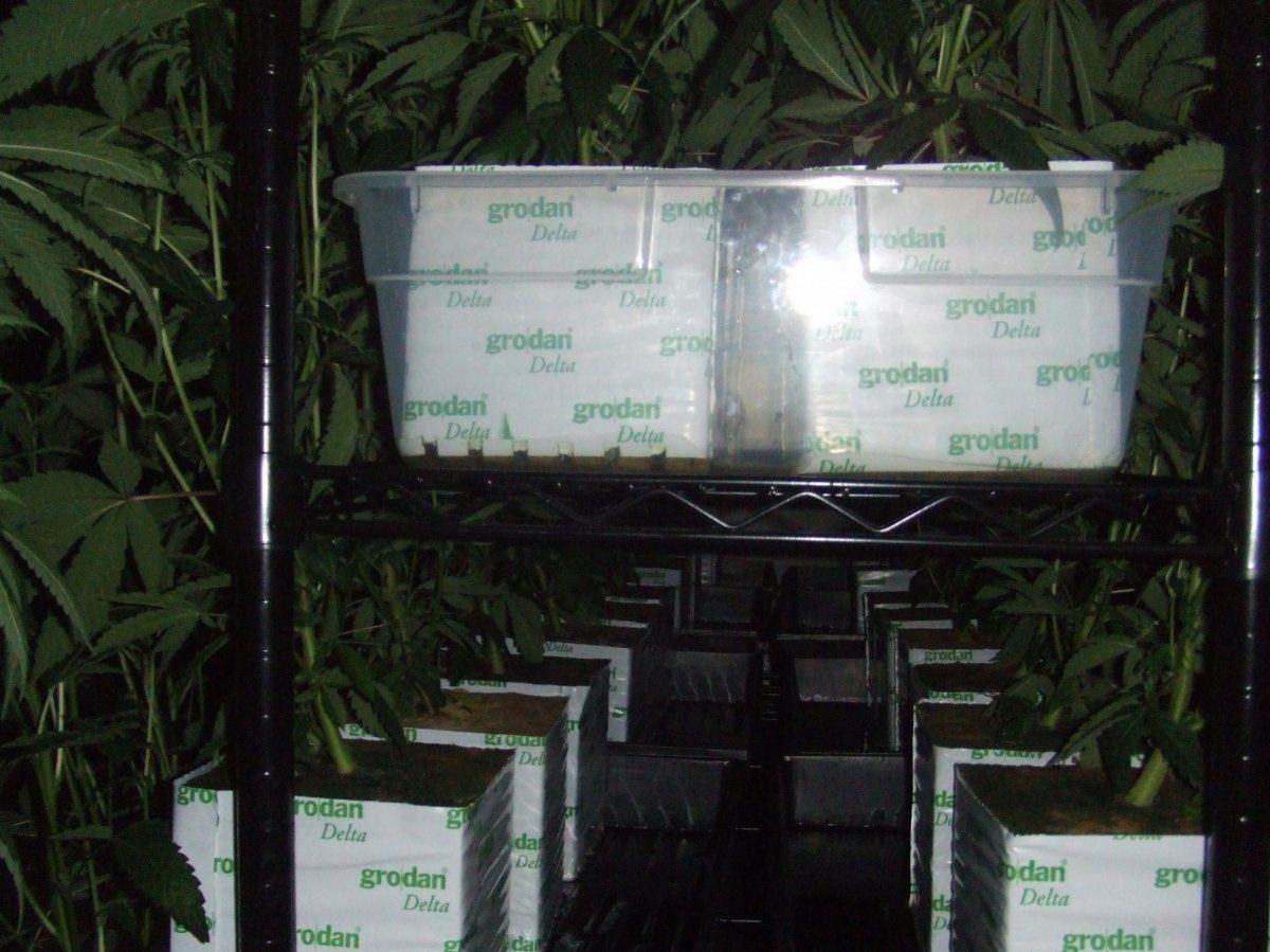 Yields per plant? | THCFarmer - Cannabis Cultivation Network