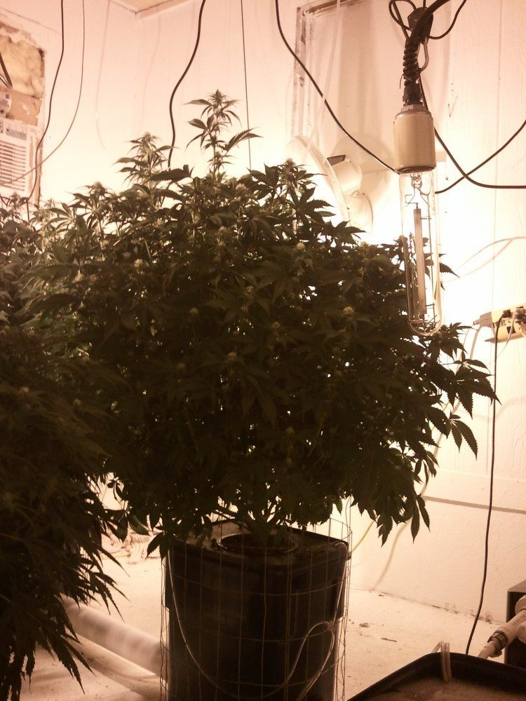 grow_dat_nasty on THCFarmer :
