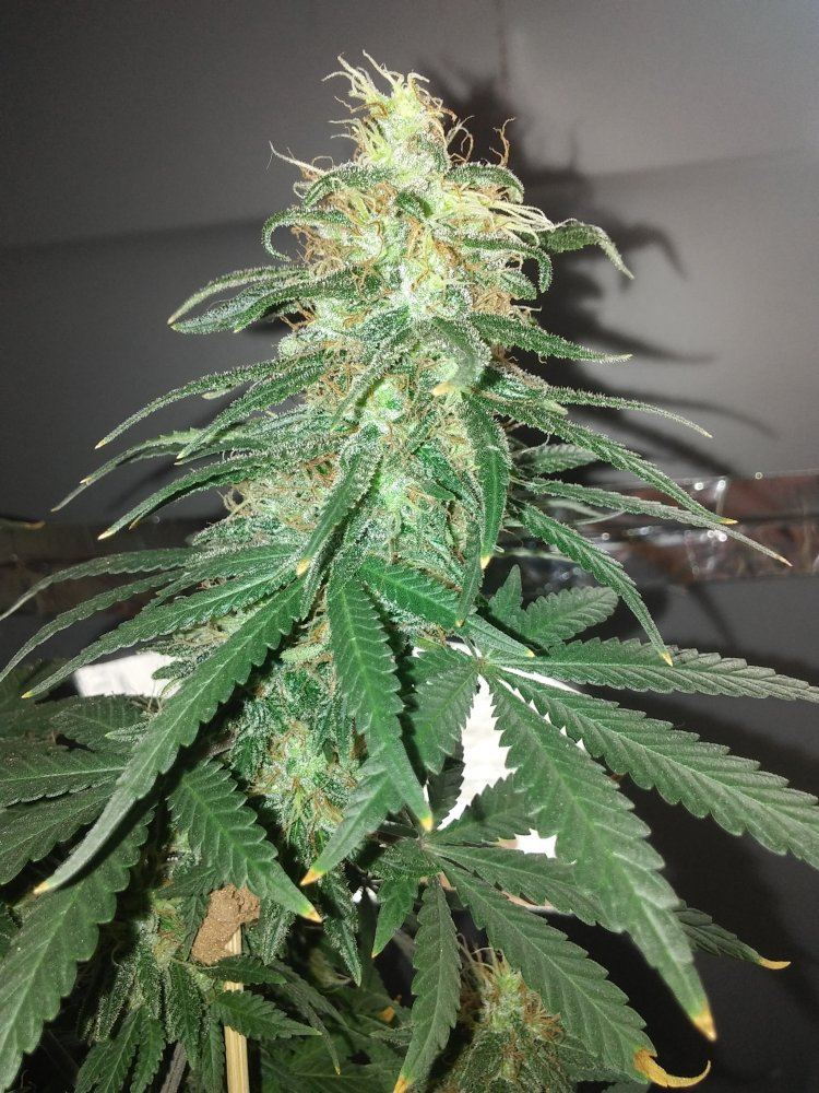 Let's See Your Frostiest Flowers   Page 218   THCFarmer - Cannabis