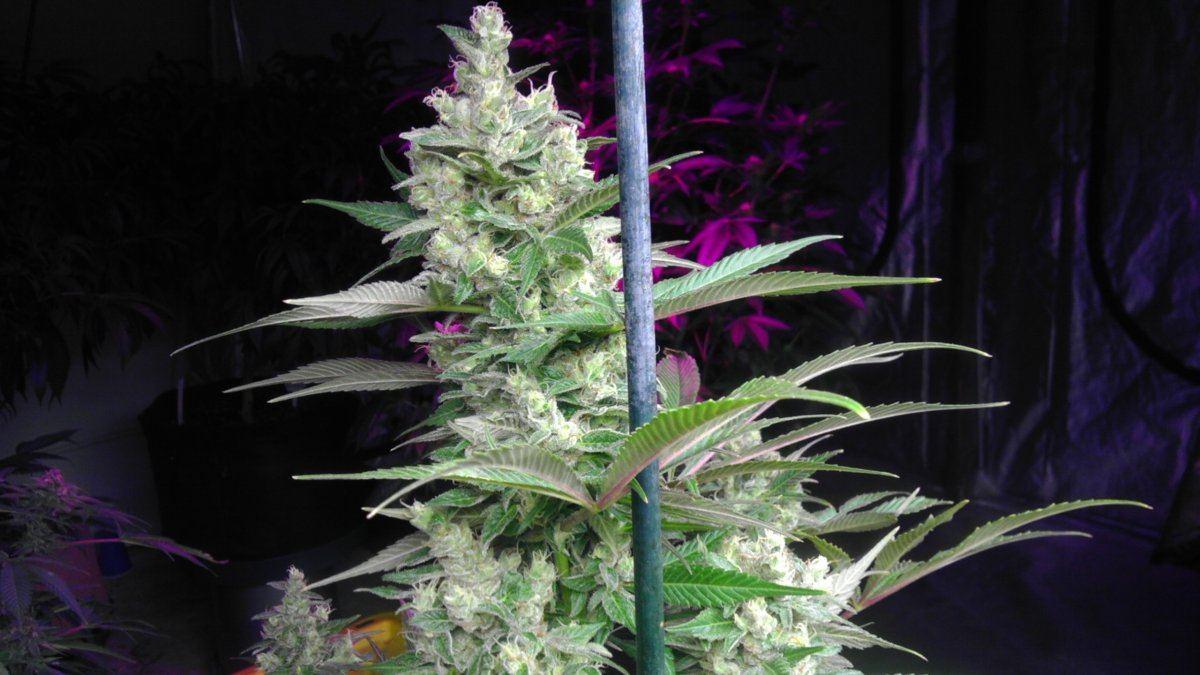 dirty glove danks grow journal-- gagegreen grape stomper