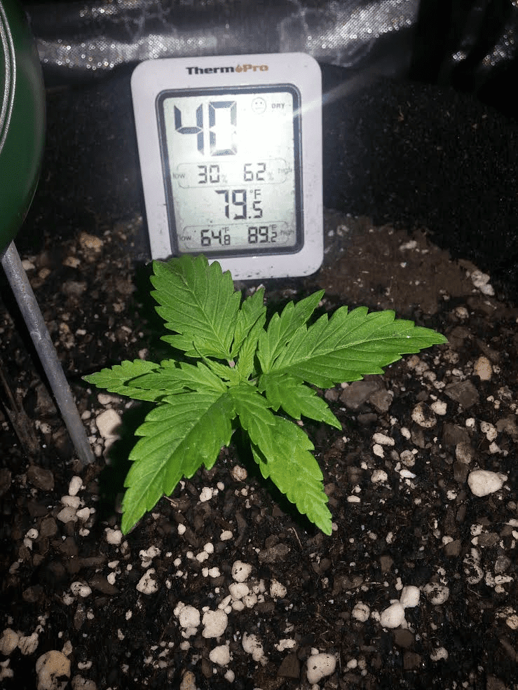 Ongoing First Time Auto Flower Grow In Soil   everyone Chime