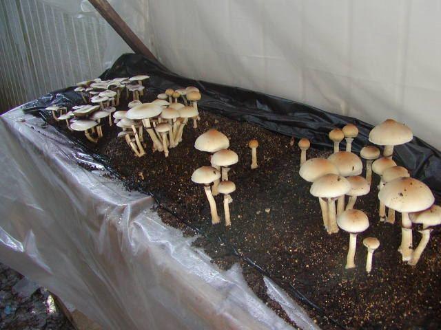 I would like to try growing mushrooms  | THCFarmer