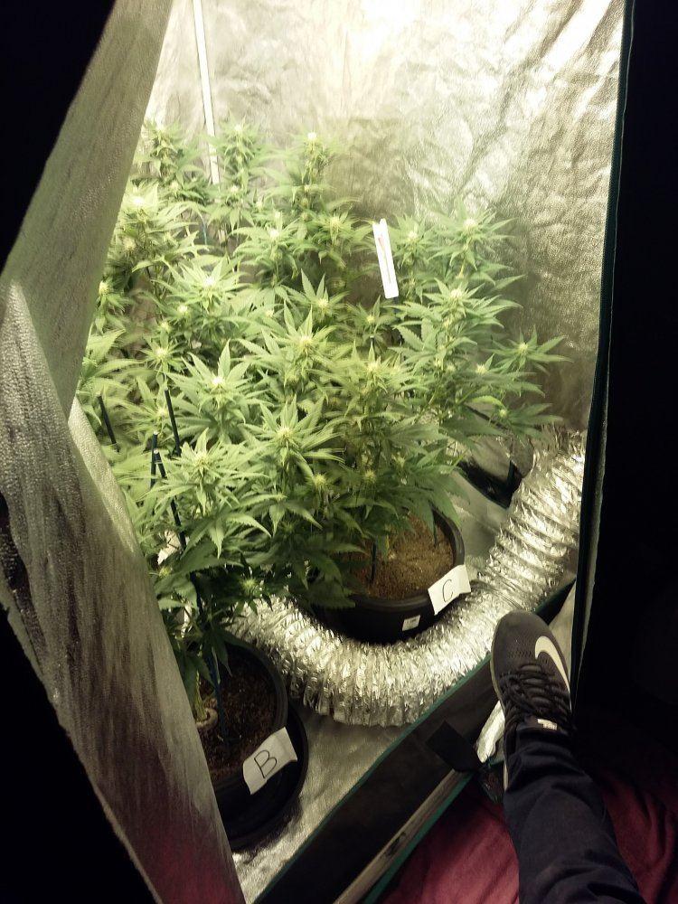 White Widow & Sour-d '400w Hps '2x2 | THCFarmer - Cannabis