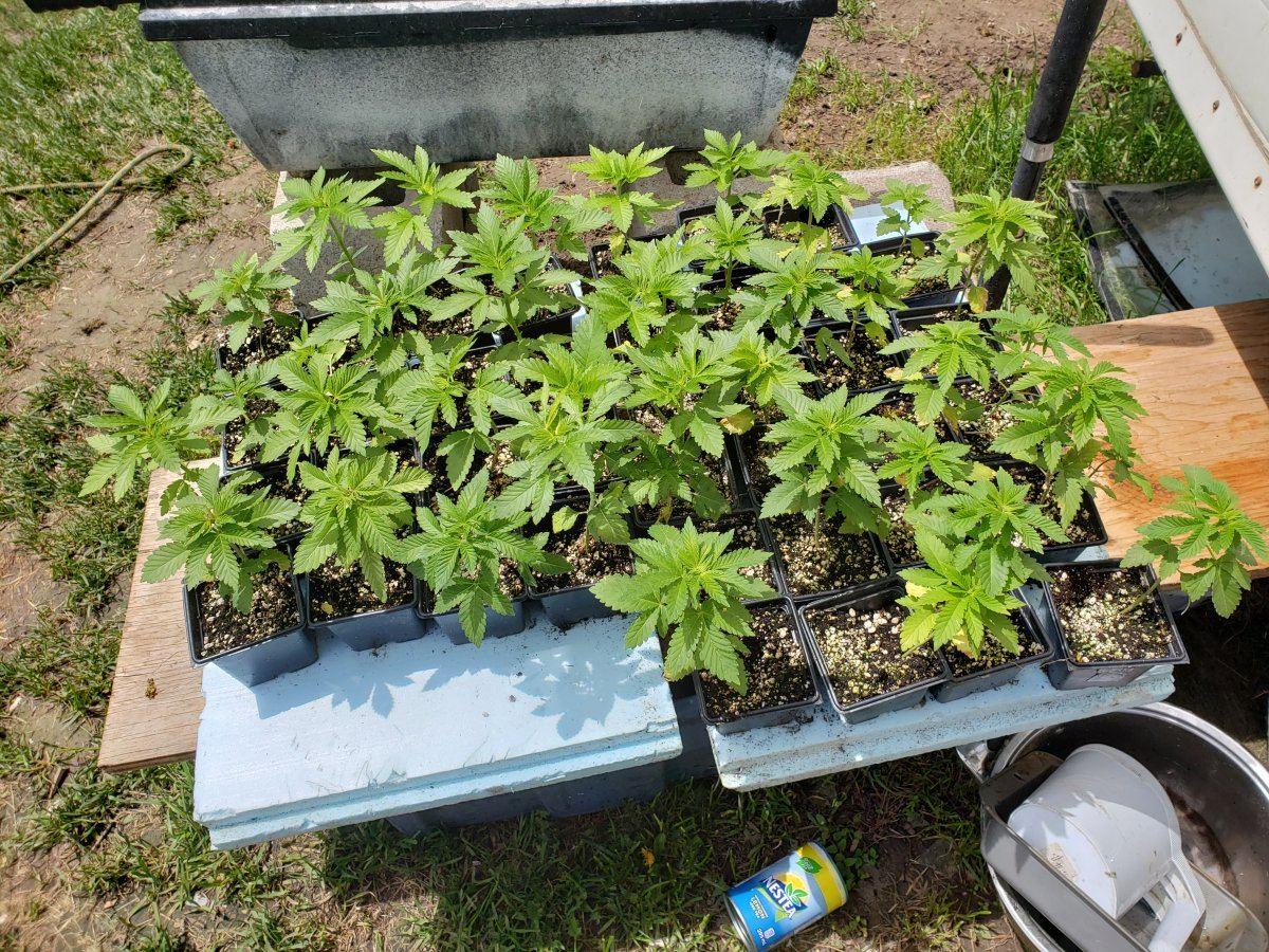 Ontario, Canada, Outdoor Growers Thread   Page 2   THCFarmer