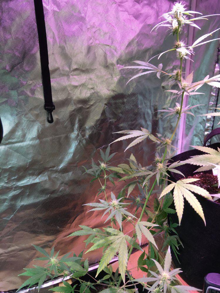 Auto Flower Grow Advice | Page 3 | THCFarmer - Cannabis