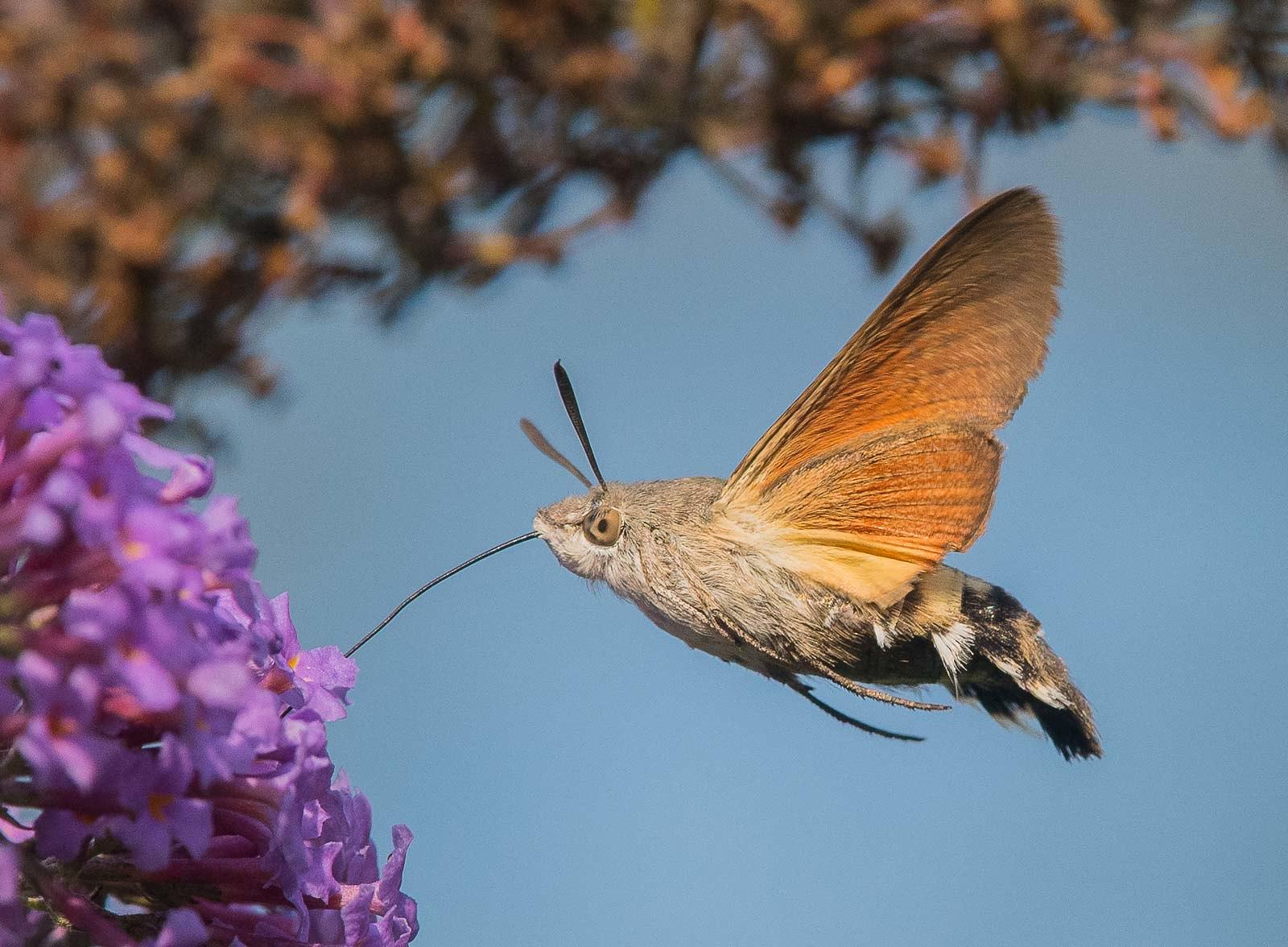48483484371-hummingbird-hawk-moth-my-garden-nottingham-dsc7152jpg.jpg