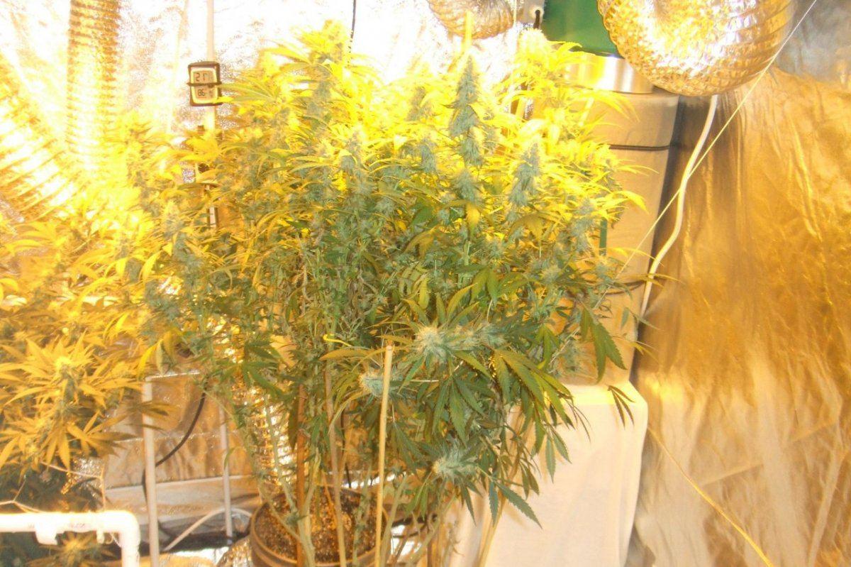 1 pound indoor plant | THCFarmer - Cannabis Cultivation Network