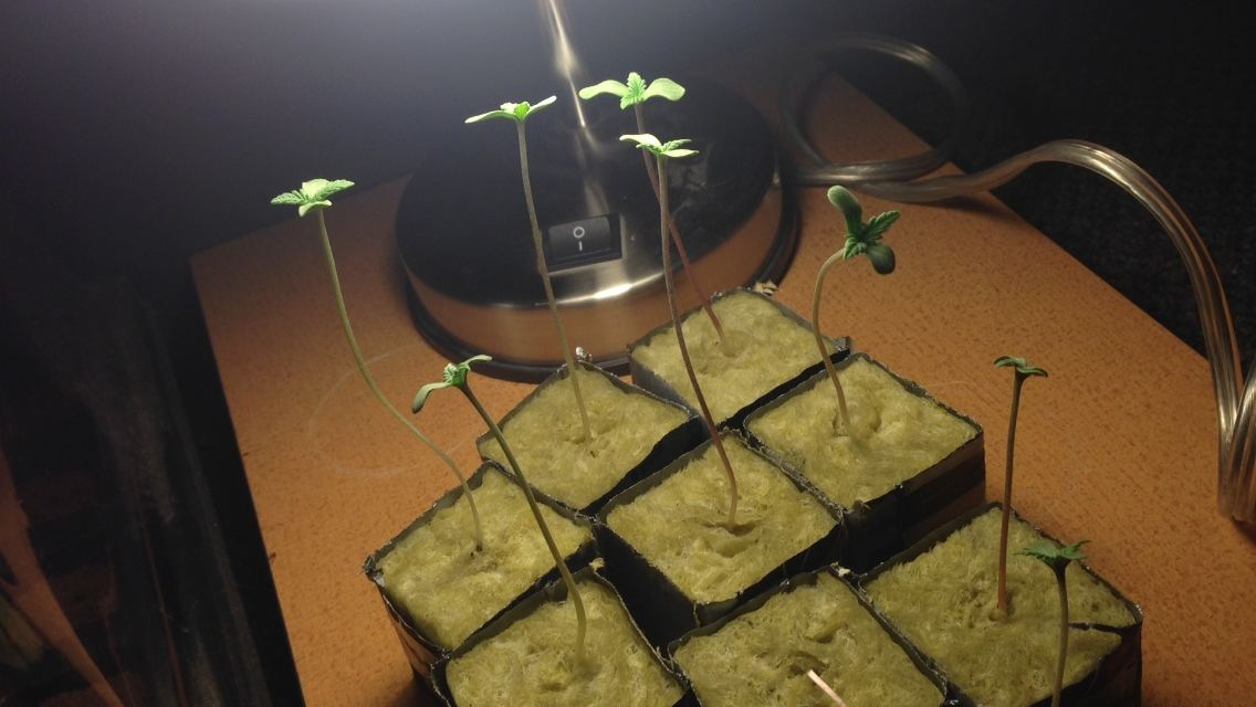How long do beans take to sprout in rockwool cubes ...