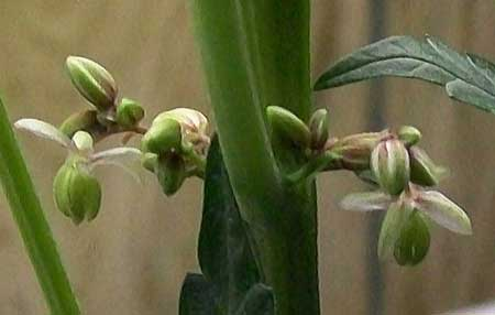 cannabis-plant-male-pollen-sacs-have-opened-up-sm.jpg