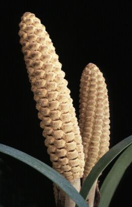 double Zamia male cones.JPG