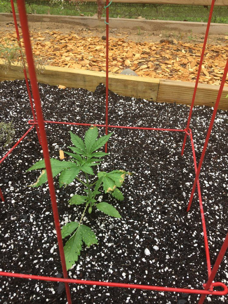 When To Put Plant For Outdoor In Michigan? | THCFarmer