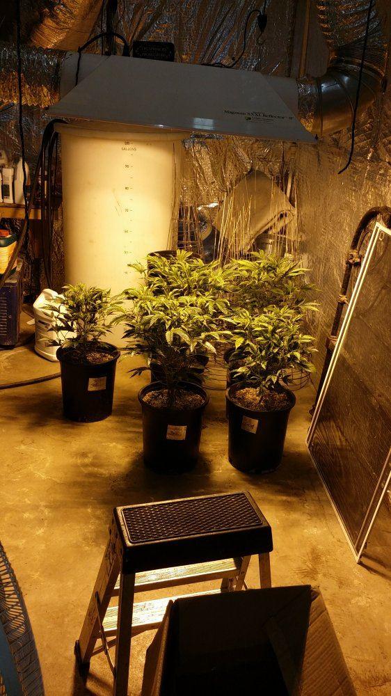 gro6 cannabis grow 4.jpg