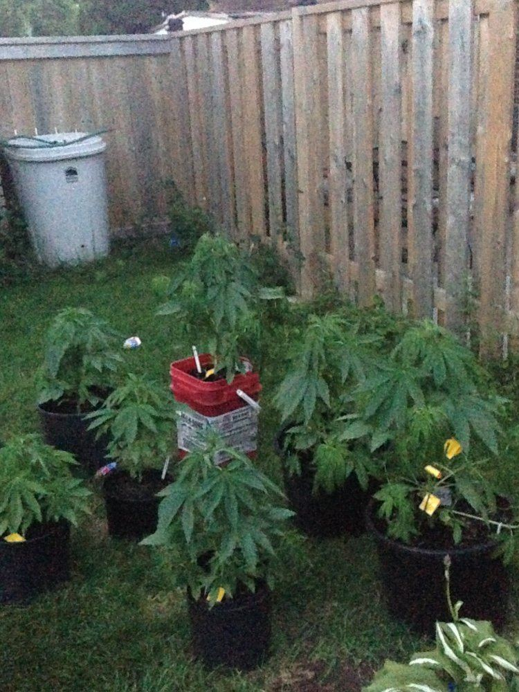 Droopy Plants At Night Thcfarmer Cannabis Cultivation Network