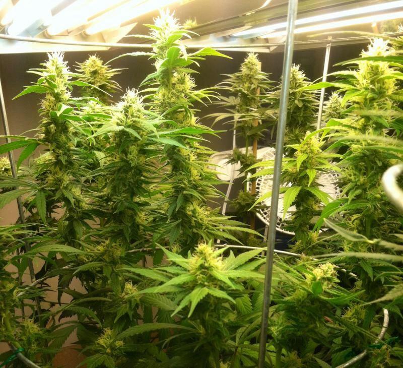 First Grow - Dyna Gro? PH? | THCFarmer - Cannabis
