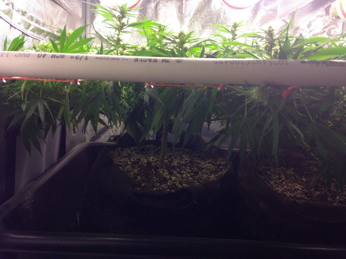 What Grow Method For Highest Yield In 3x3x6 Tent