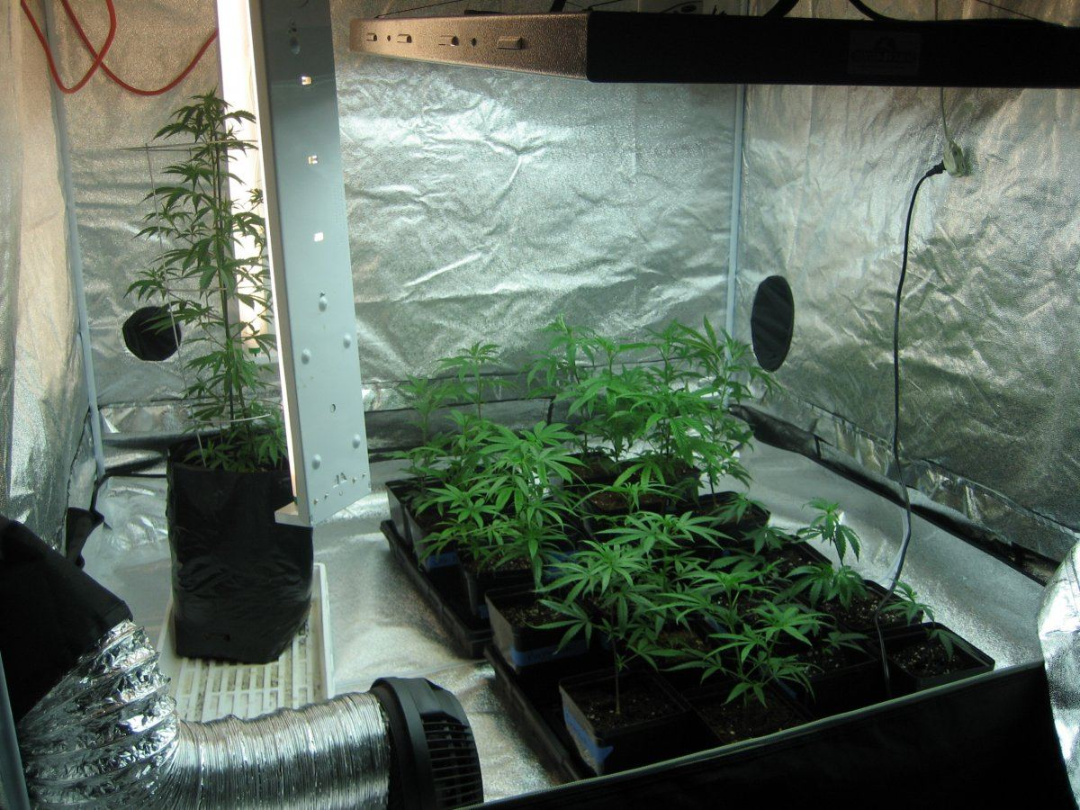 2 tent grow 5x5 and 10X10  first grow : ) | THCFarmer - Cannabis