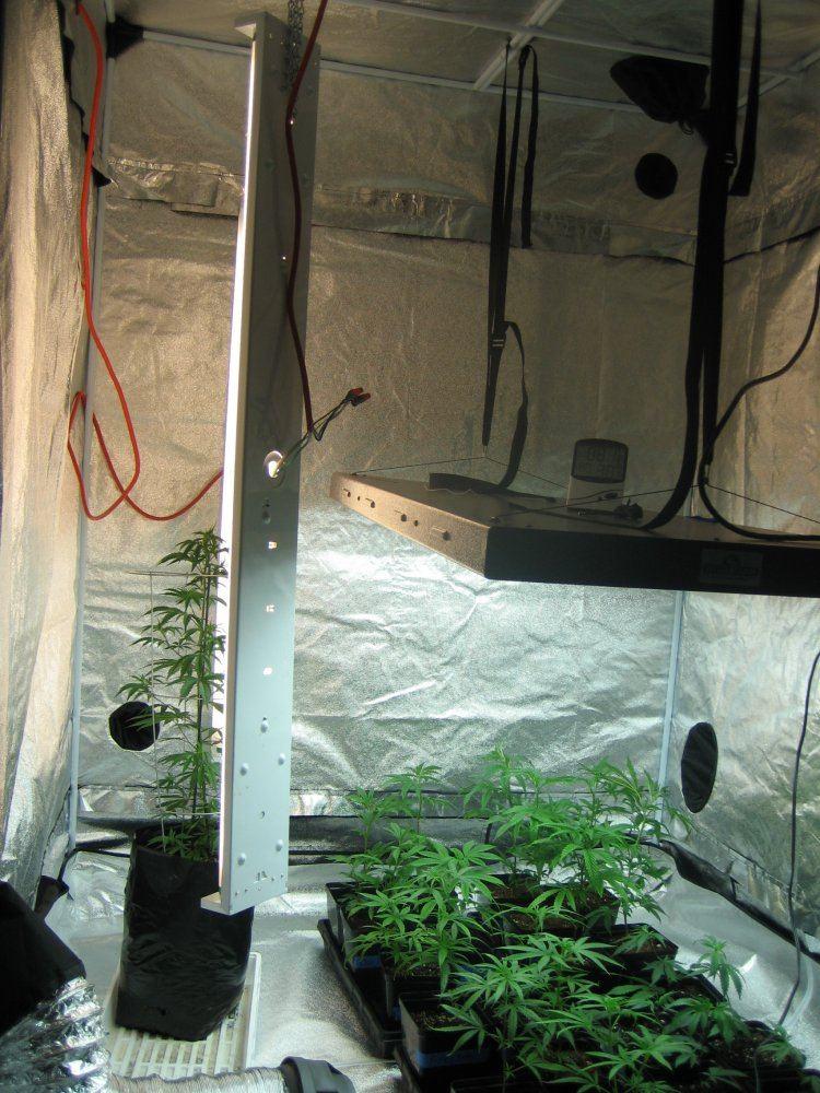 2 tent grow 5x5 and 10X10  first grow : ) | THCFarmer