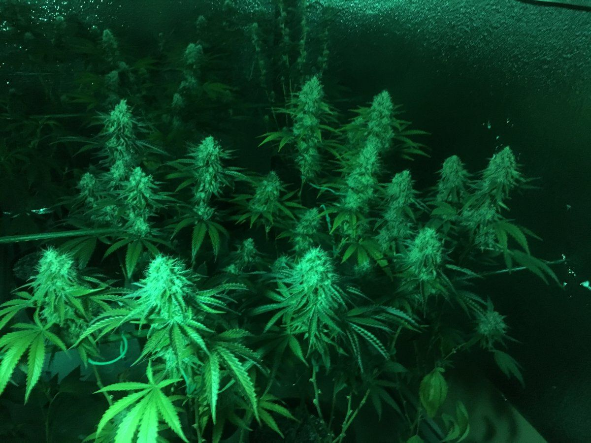 Your Highest Yield With 1 1000w Hps Or 5x5 Tent/footprint