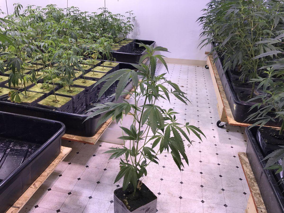 The History of OG Kush | Page 46 | THCFarmer - Cannabis