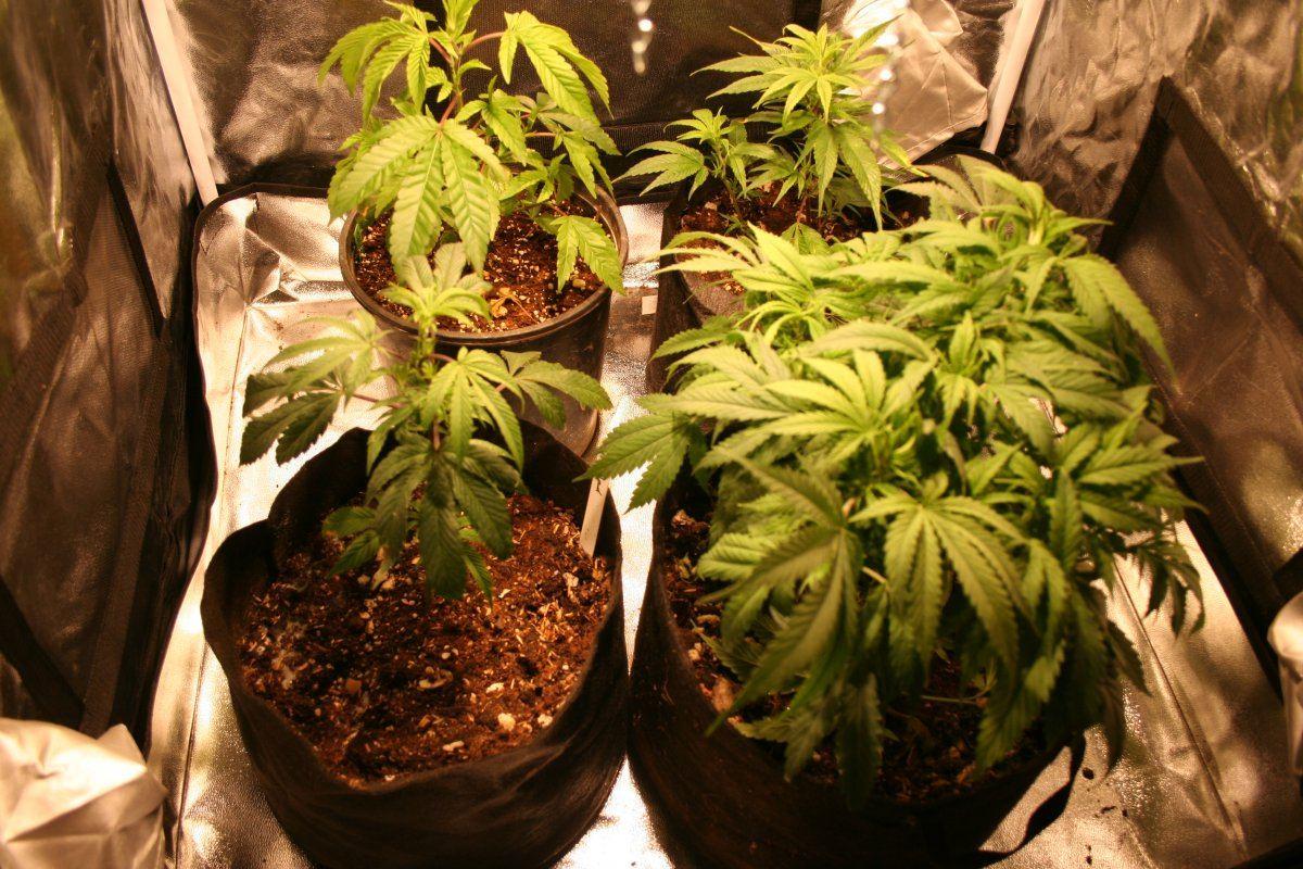 My 200w Cob 3x3 Tent | THCFarmer - Cannabis Cultivation Network