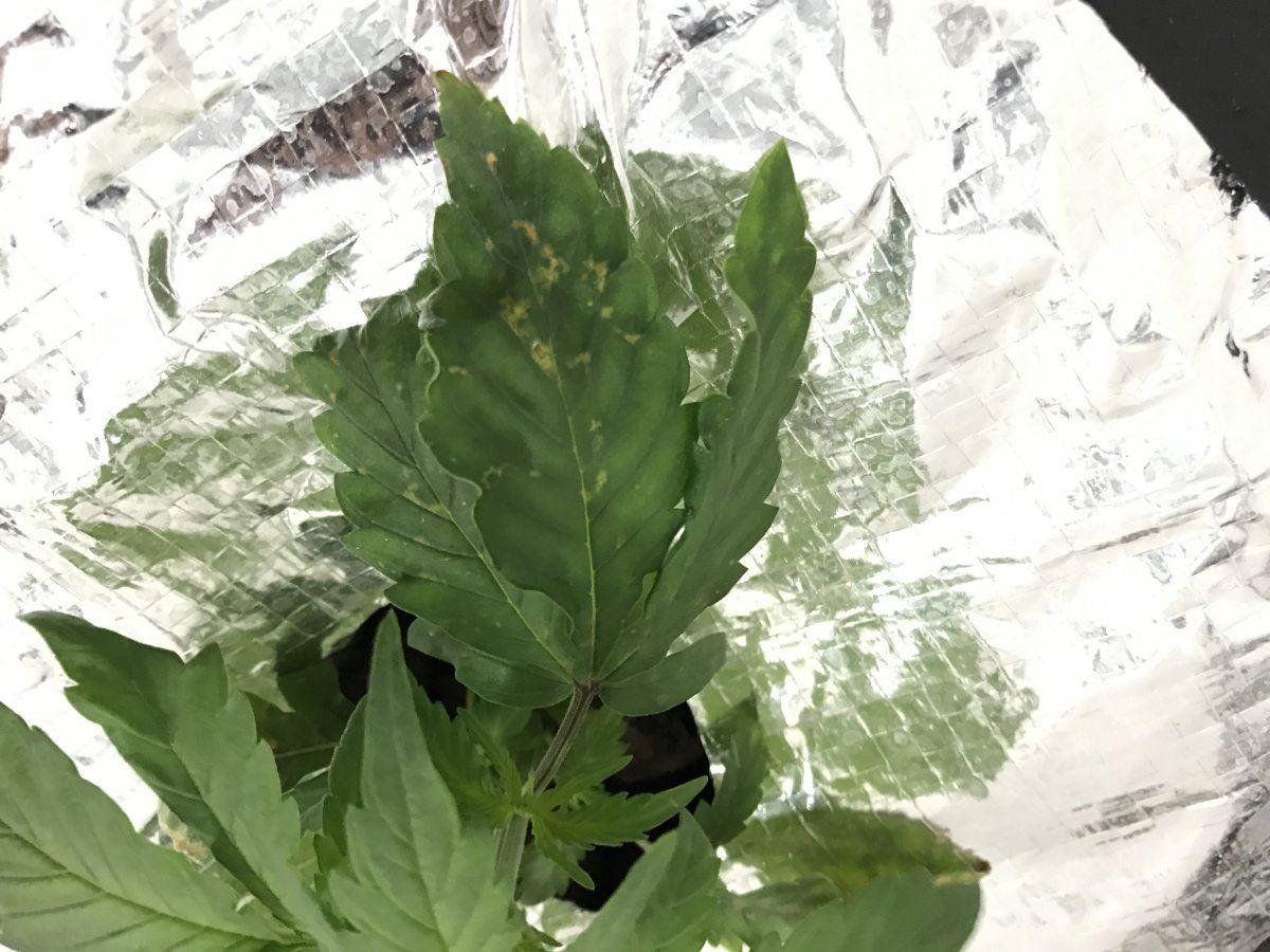 Slow Seedling Growth Dwc | Page 2 | THCFarmer - Cannabis ...