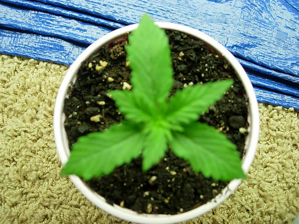 lime skunk tri leaf.JPG