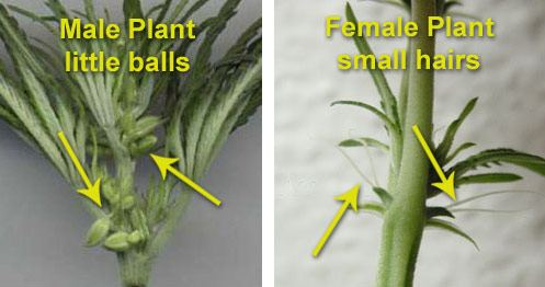 male-female-plant-differences-how-to-1.jpg