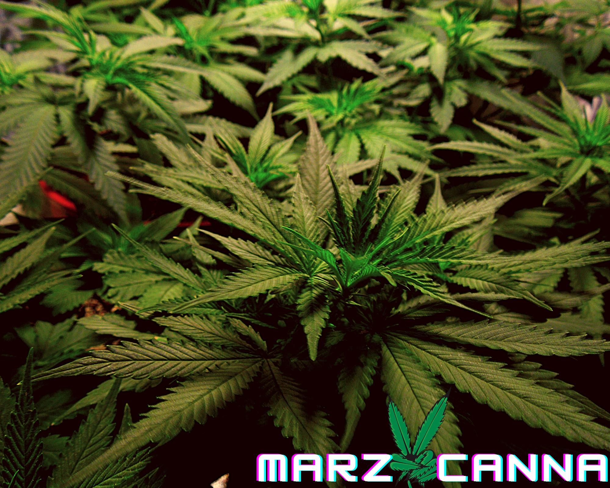 Marzcanna png.png