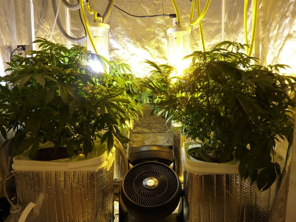 1800w Water-Cooled Lights/RDWC 5x5 grow tent | THCFarmer