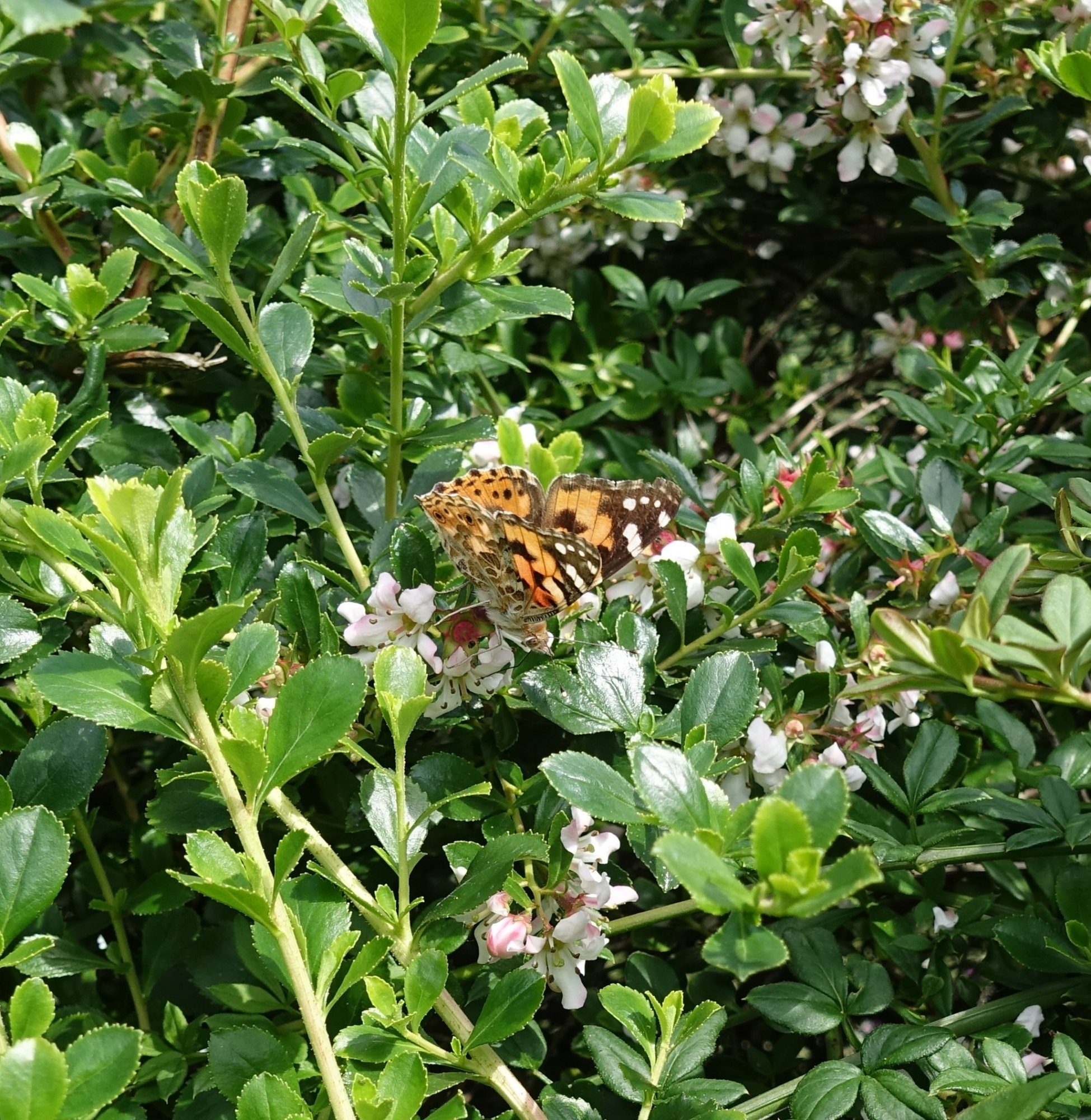 Painted Lady Butterfly 1.JPG