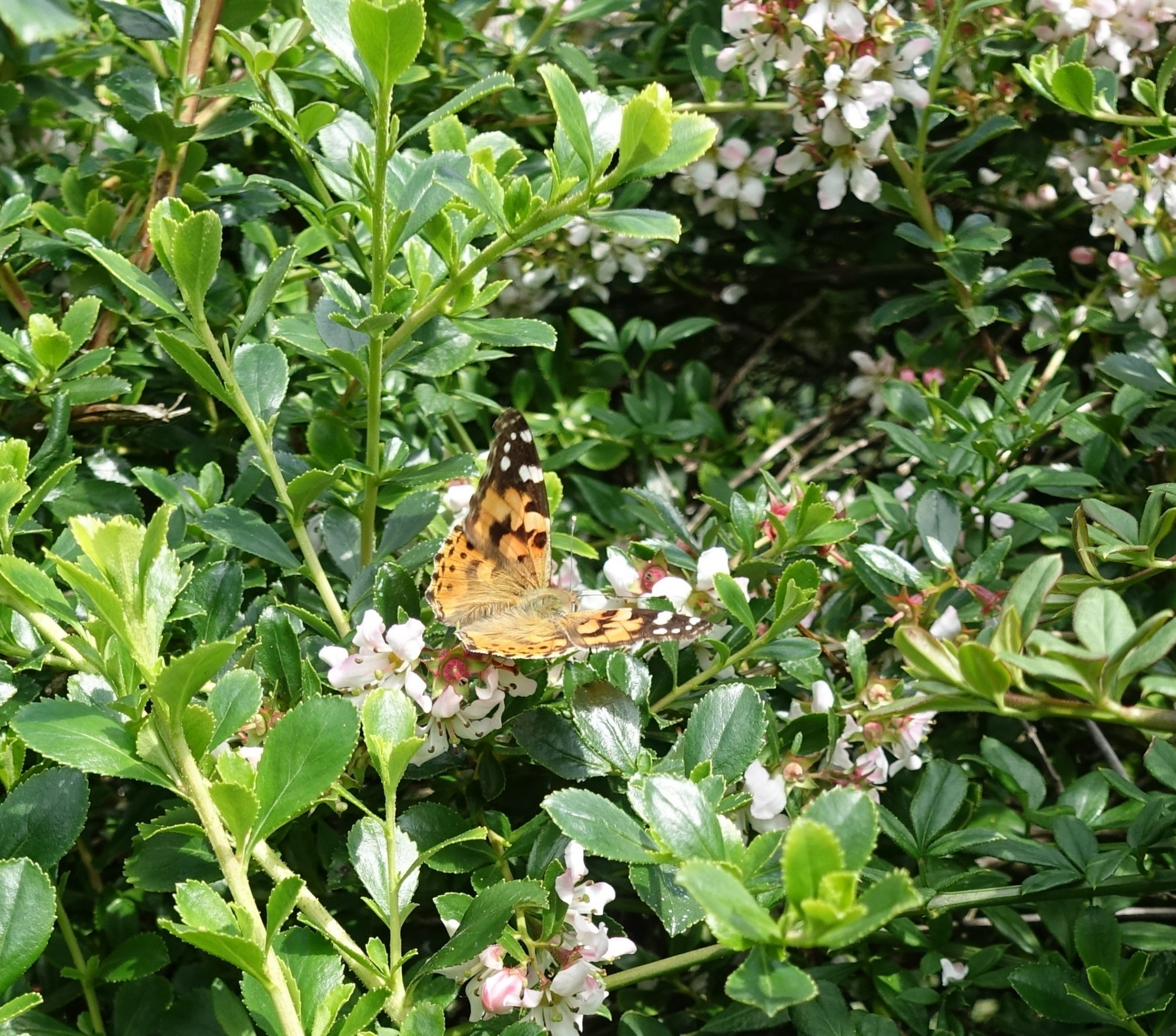 Painted Lady Butterfly 2.JPG