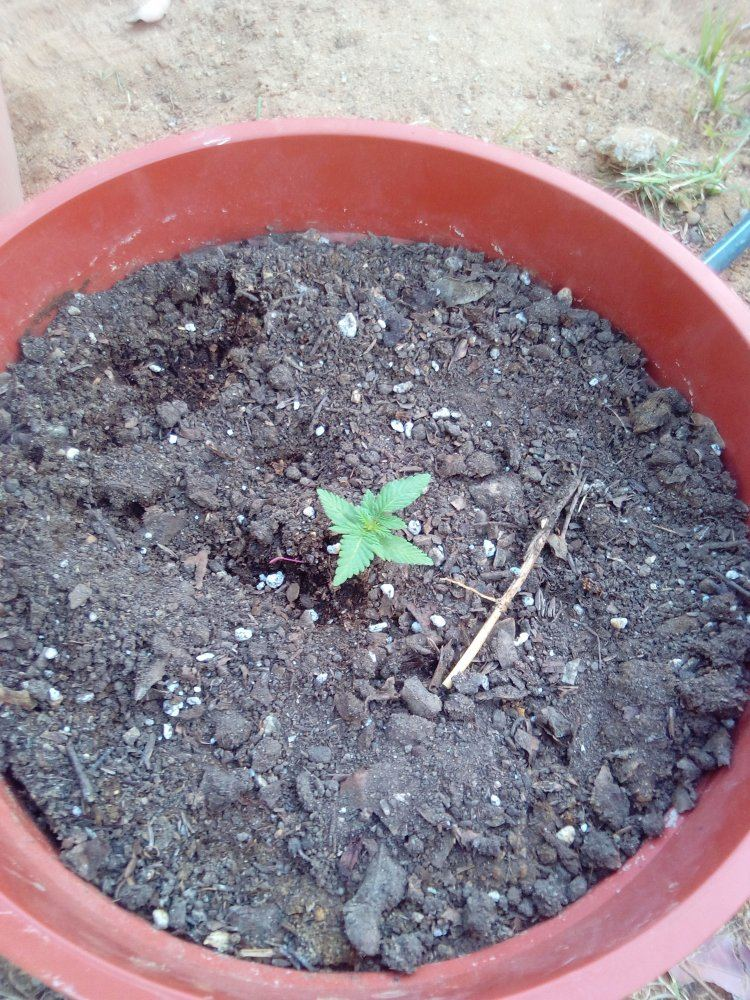 3 Week Outdoor Autoflowers Too Small? | THCFarmer - Cannabis