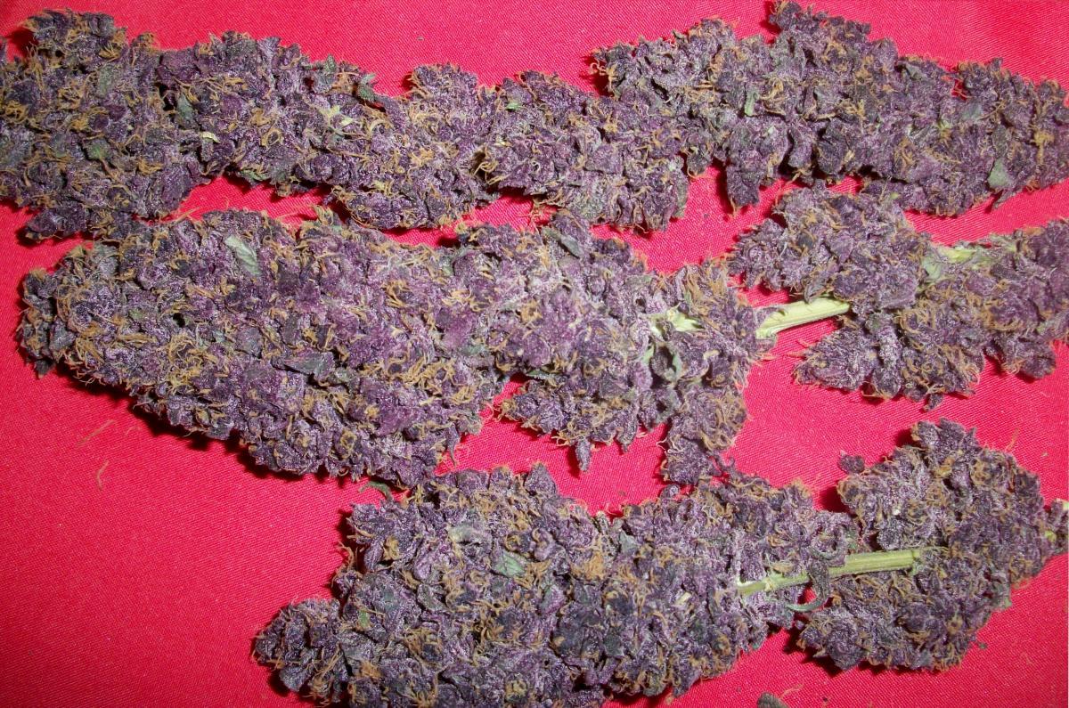 purple fever-1.jpg