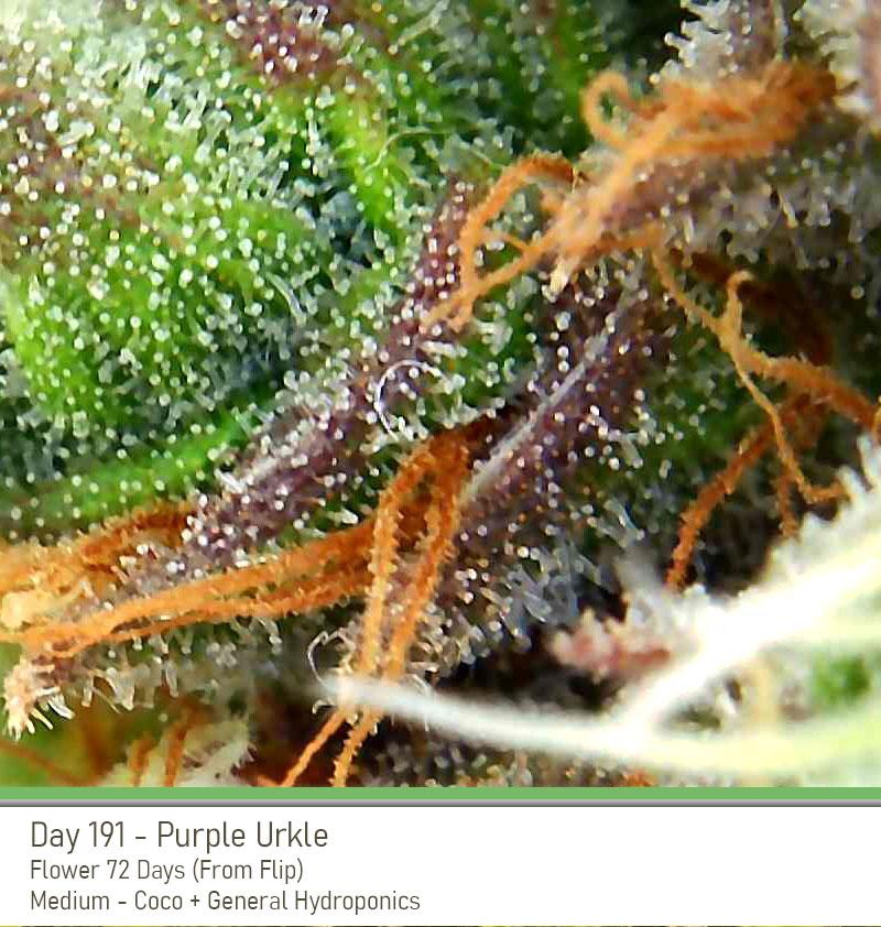 PurpleUrkle_191Days_Trich.jpg