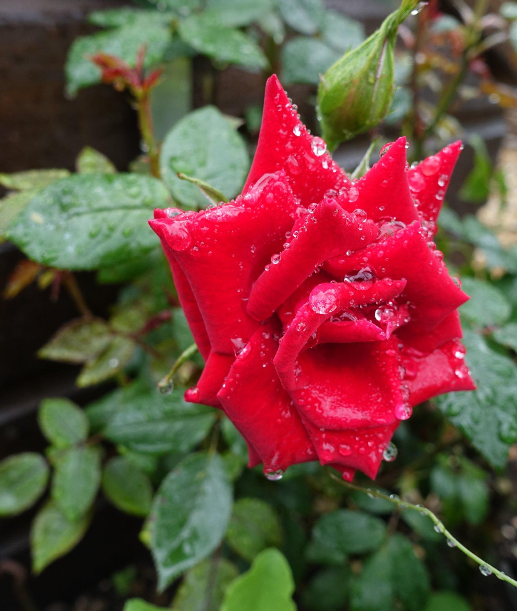 Red Rose (1).JPG