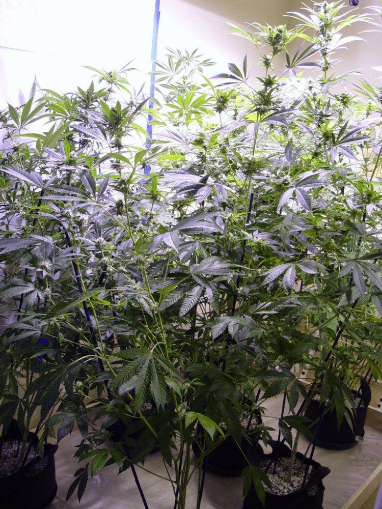 Roots Organic R17 Bloom-4.JPG