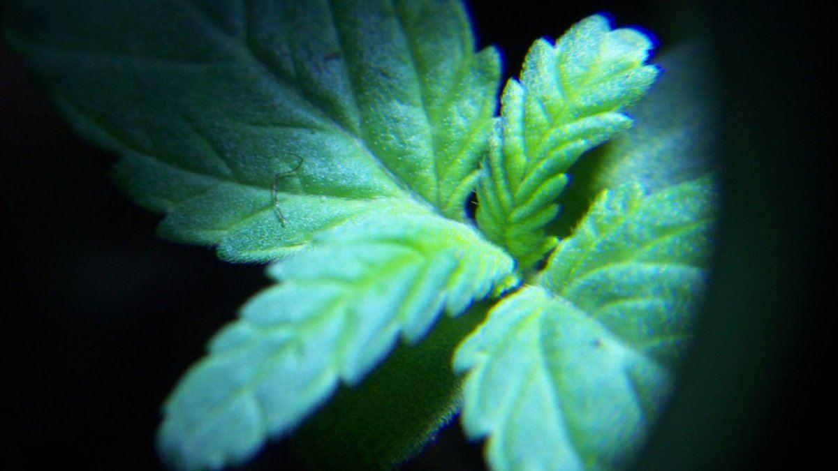 seedling trichomes 007.JPG