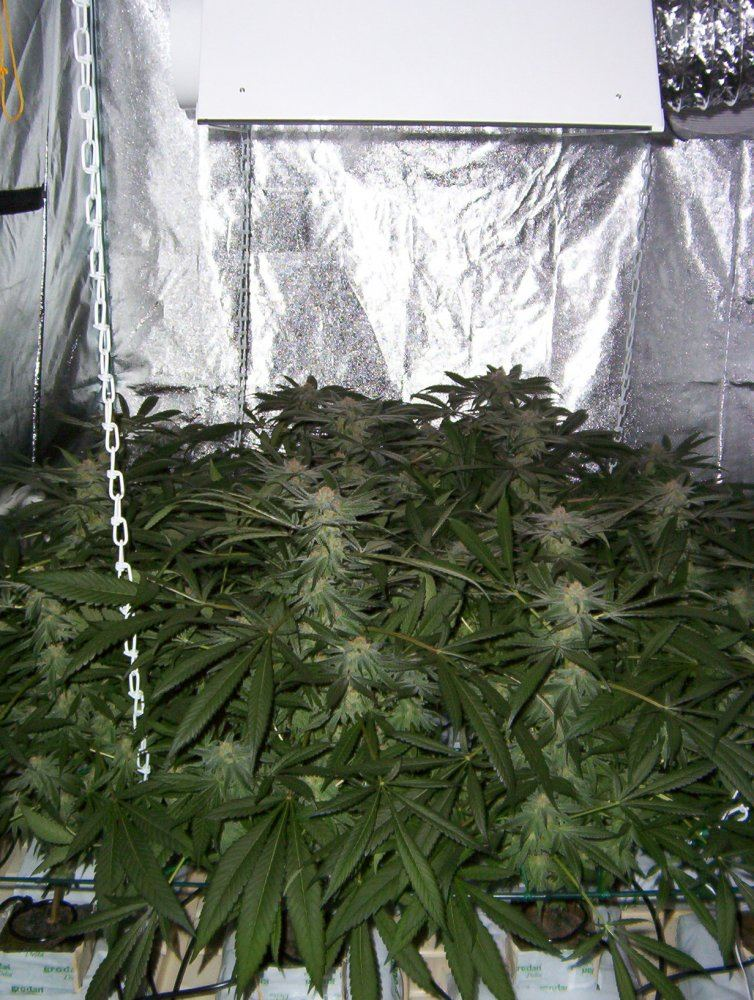 3x3 = 1 pound? | Page 2 | THCFarmer - Cannabis Cultivation