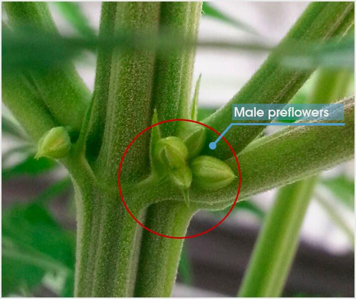 sexing-cannabis-plants-male-pollen-sacs.jpeg