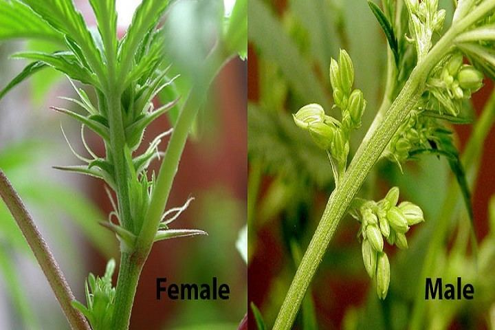 Sexing-Outdoor-Marijuana-Plants-720x480.jpg