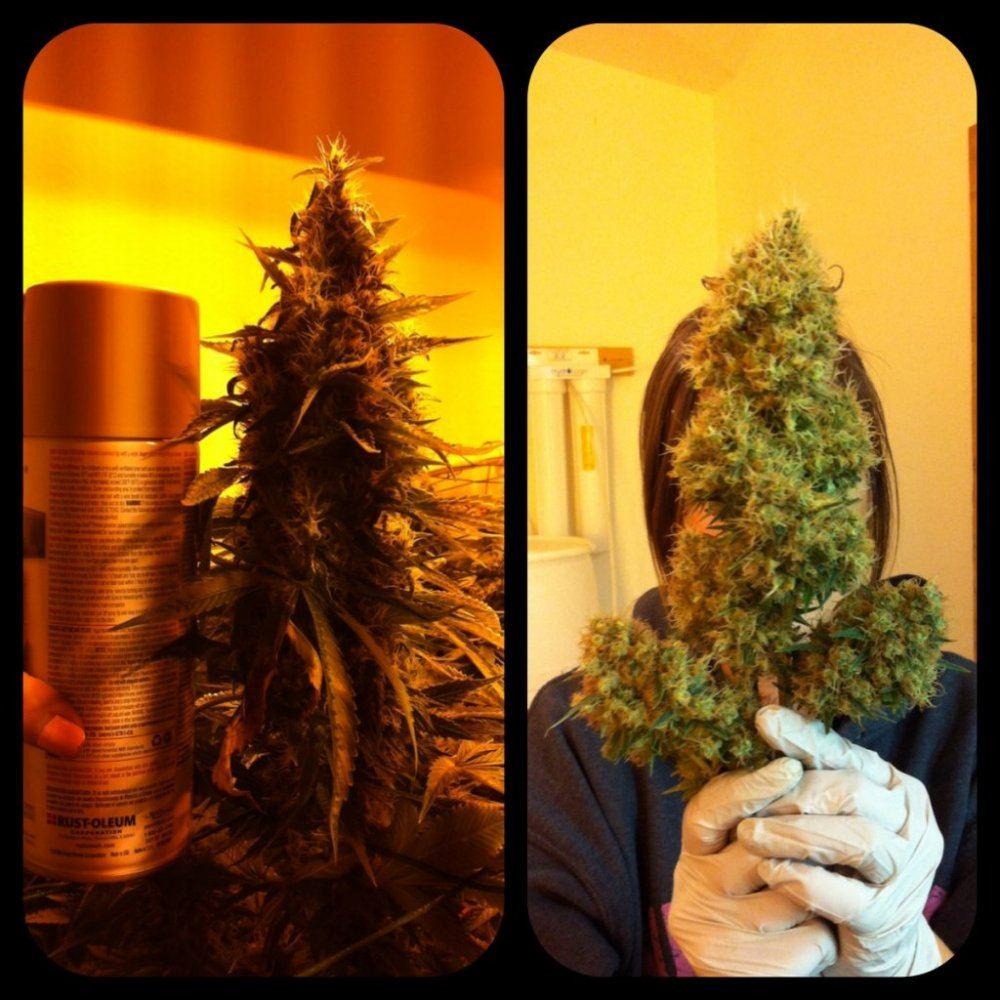 General Hydroponics Bush Load | THCFarmer - Cannabis Cultivation