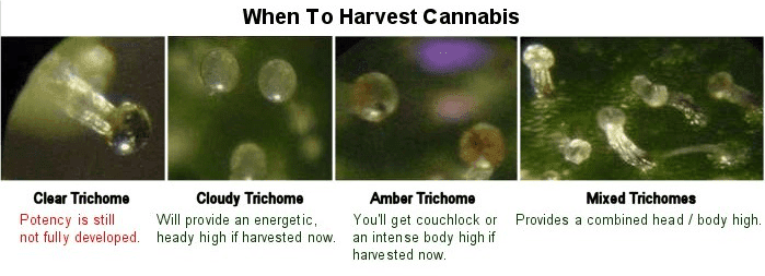 trichs.png