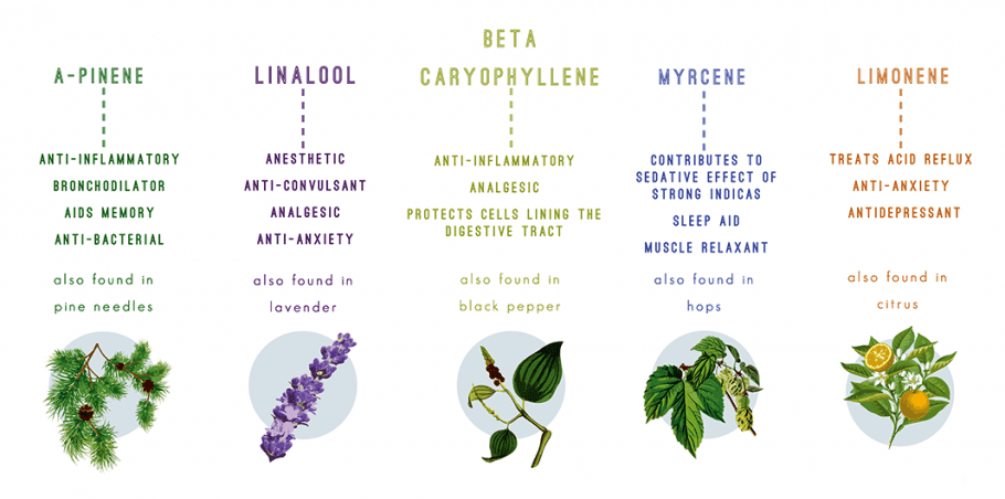 The Terpenes Of Cannabis, Their Aromas, And Effects