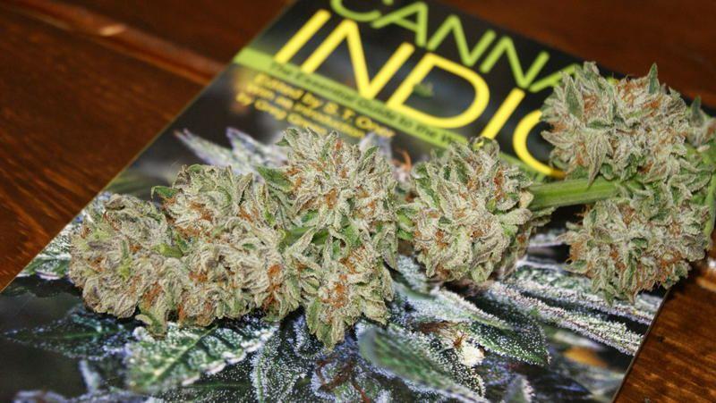 DMT - Sour Bubble Bx1 Ix3 | THCFarmer - Cannabis Cultivation Network