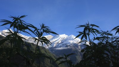 Nepal Looks to Legalize Marijuana