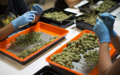 Progress, Obstacles in Cannabis Industry Unionization Push