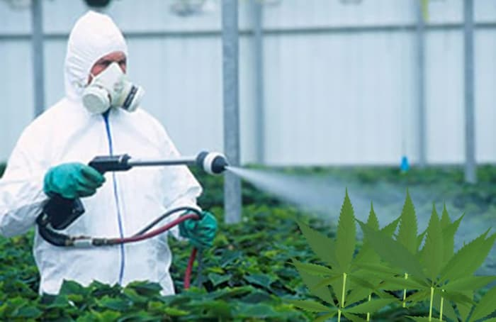 An Elusive Pathogen Is Damaging Cannabis Crops